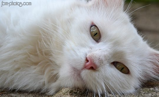 Chat pure white