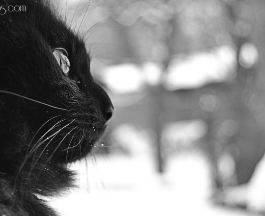 Chat pure black