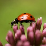 Coccinelle rouge 1