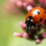 Coccinelle rouge 2